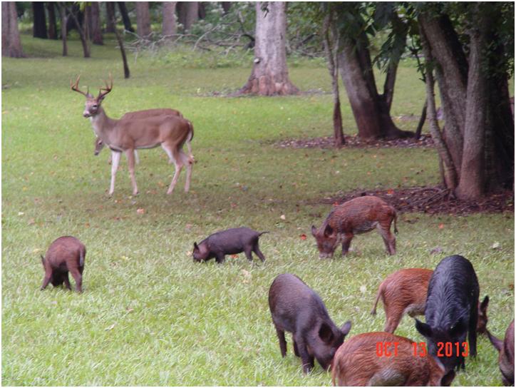 20131018 Buck Pigs